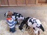 Tyler Brushing Goats