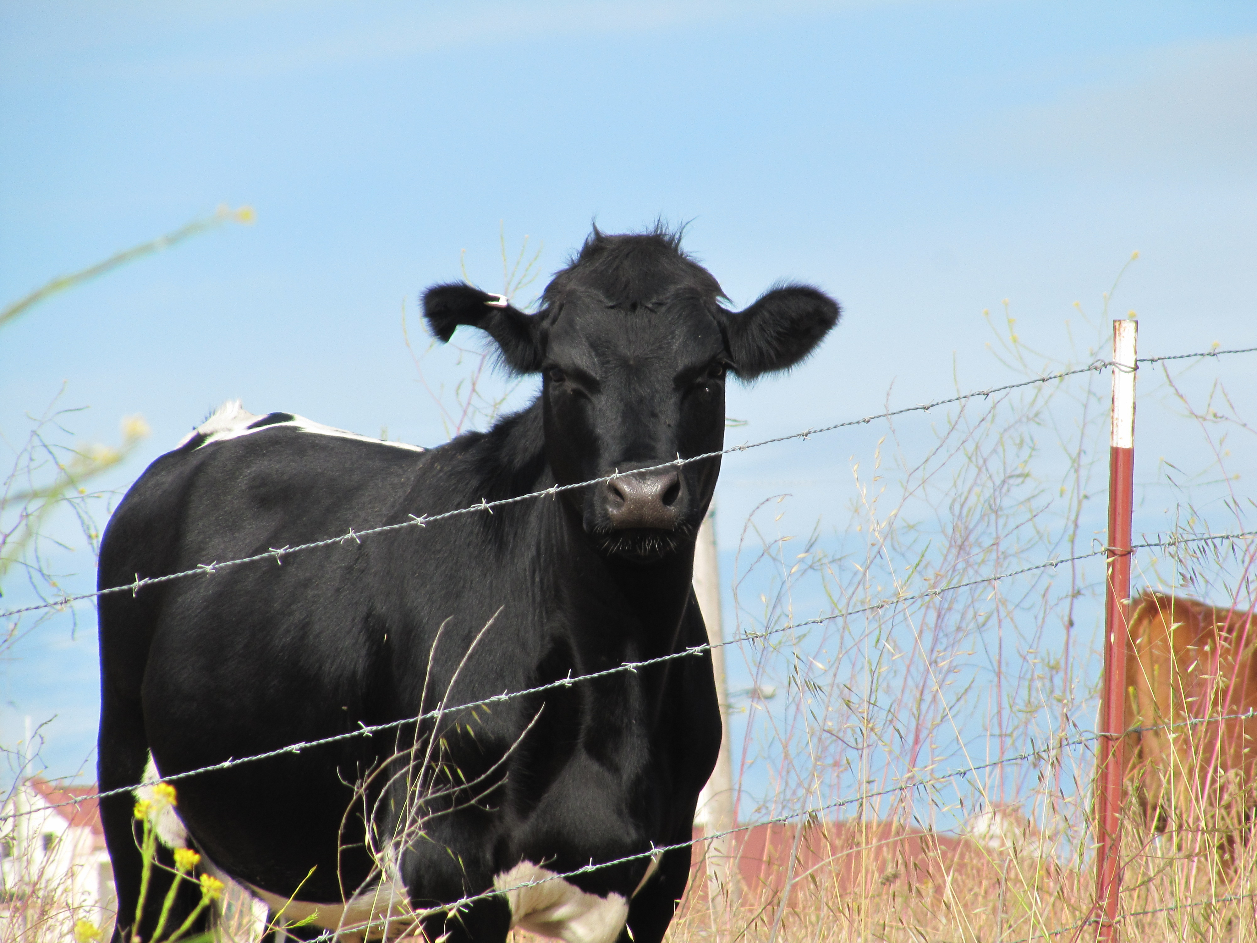 the california happy cows Dairy cattle (also called dairy cows) are cattle cows bred for the ability to produce large quantities of milk, from which dairy products are made.